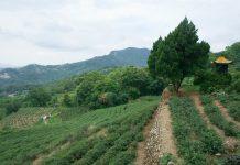 Dans les collines à thé de Maokong