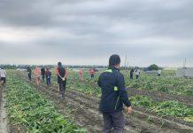Lutte contre les légionnaires d'automne (Photo:commission ministérielle de l'agriculture)